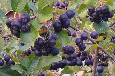 aronia-plod-med