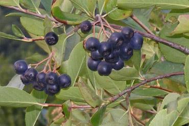 aronia-plod-medi